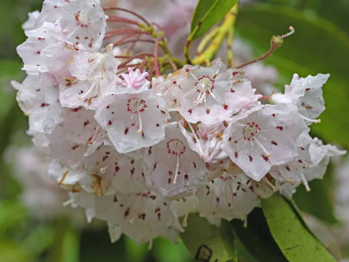 the mountain laurel is an amazing flowering evergreen