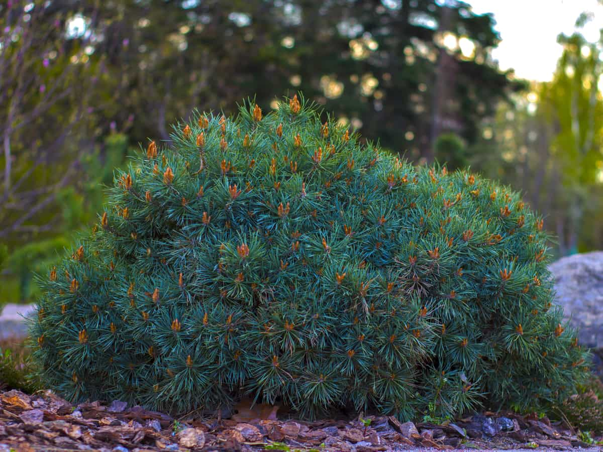 the dwarf mugo pine is an amazing evergreen