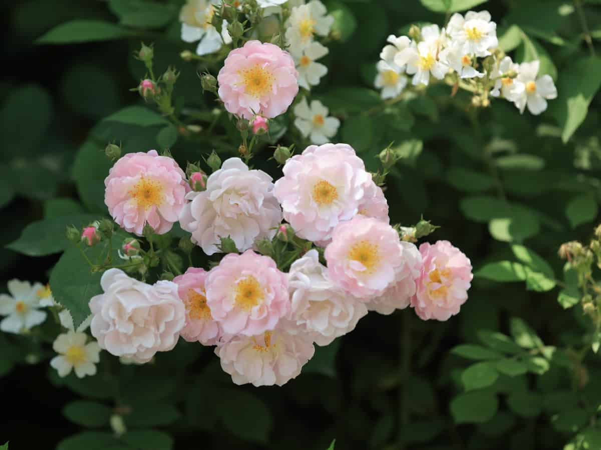multiflora rose is used as a strong rootstock