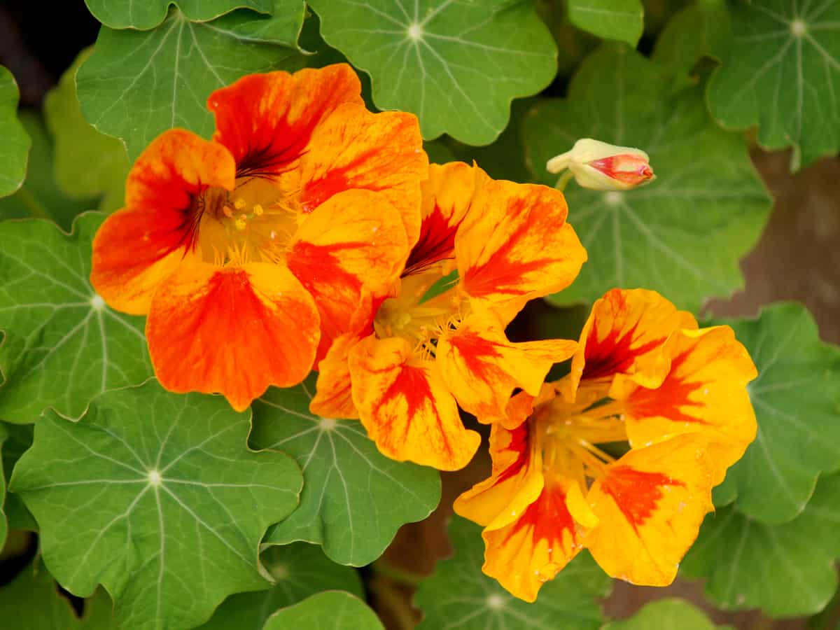 the nasturtium is a fast growing annual