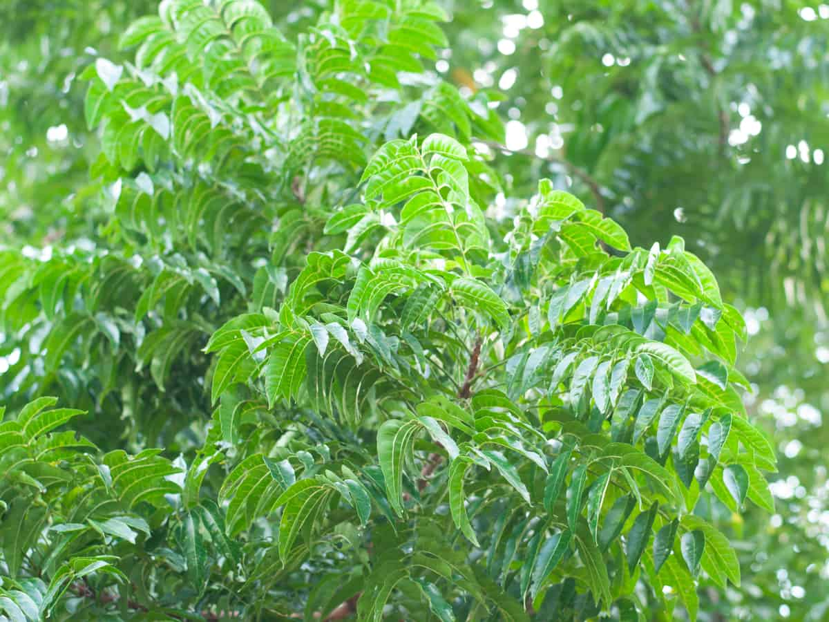 the neem tree is a fast grower