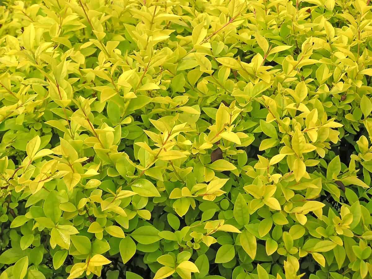 North Privet is a fast-growing semi-evergreen