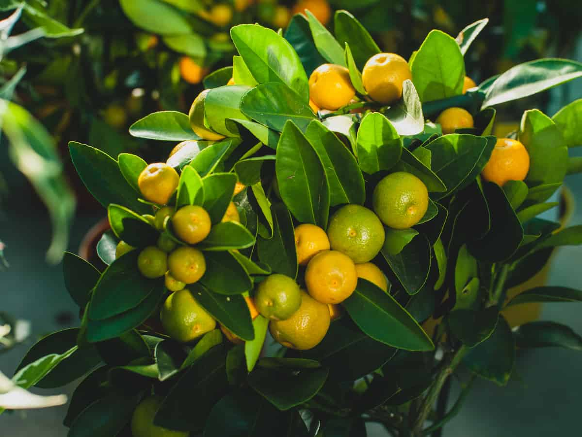 dwarf orange trees are great for beginners