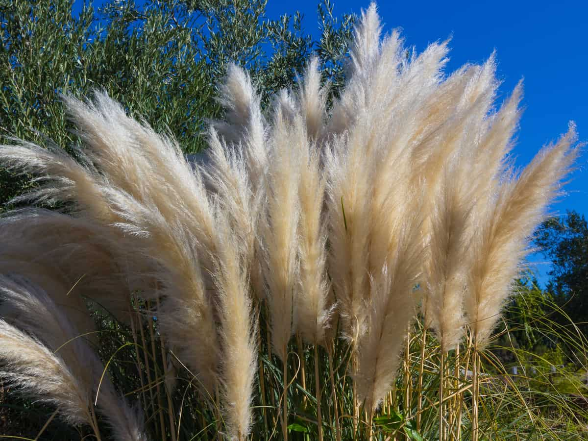 Pampas grass is great for blocking the wind