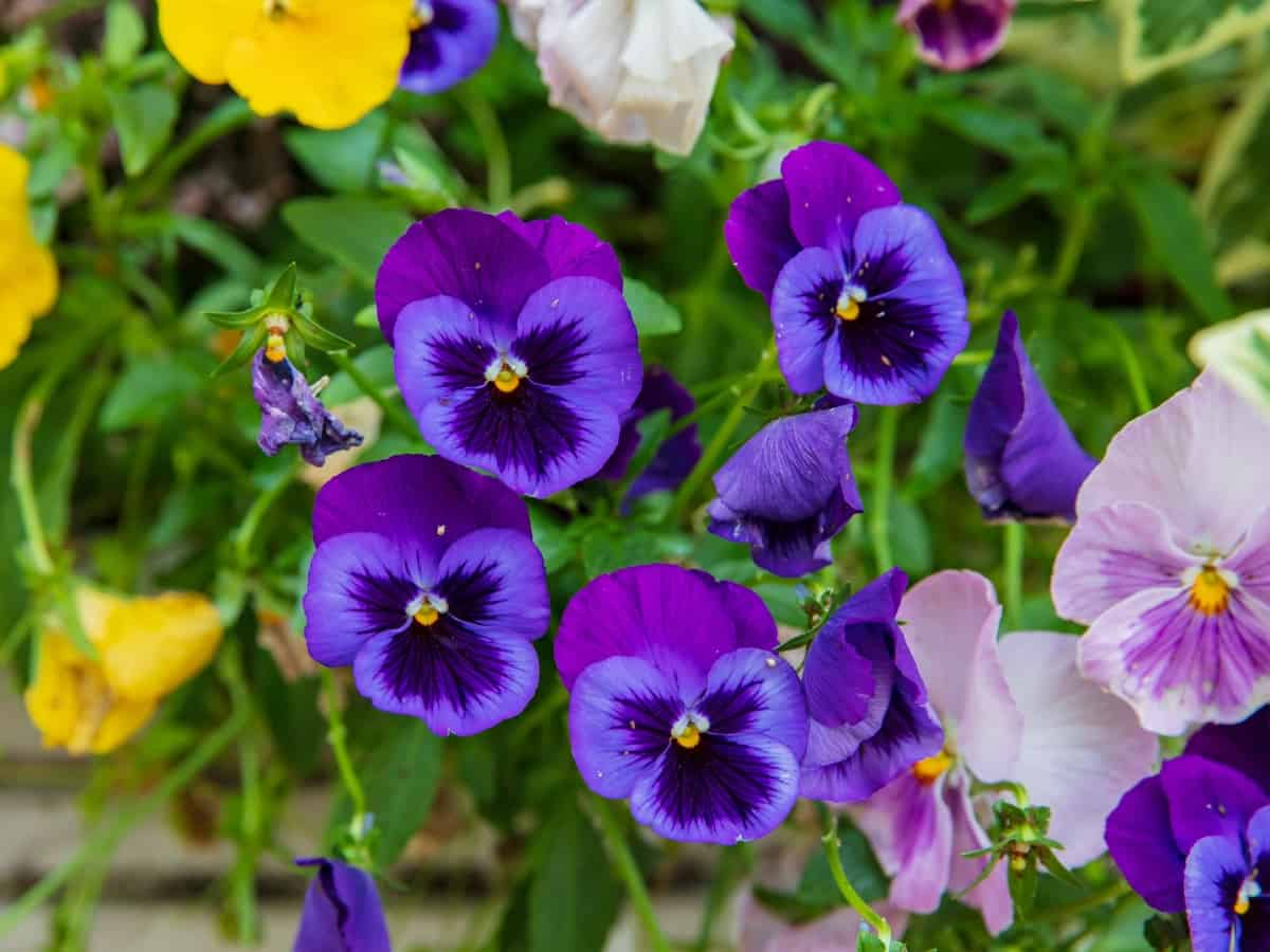 pansies are cold-hardy