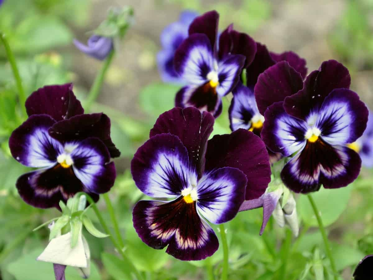 the pansy is a low maintenance flower