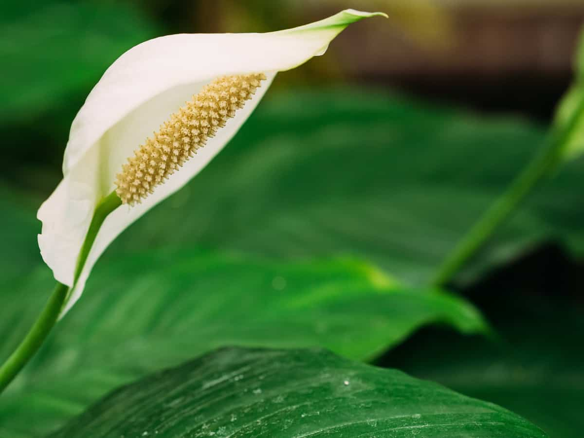 peace lilies are plants that improve indoor air