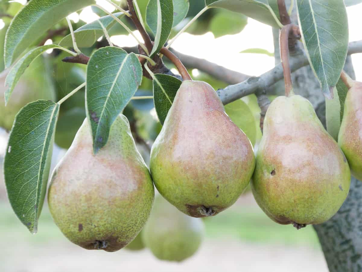 you can grow pears in a pot