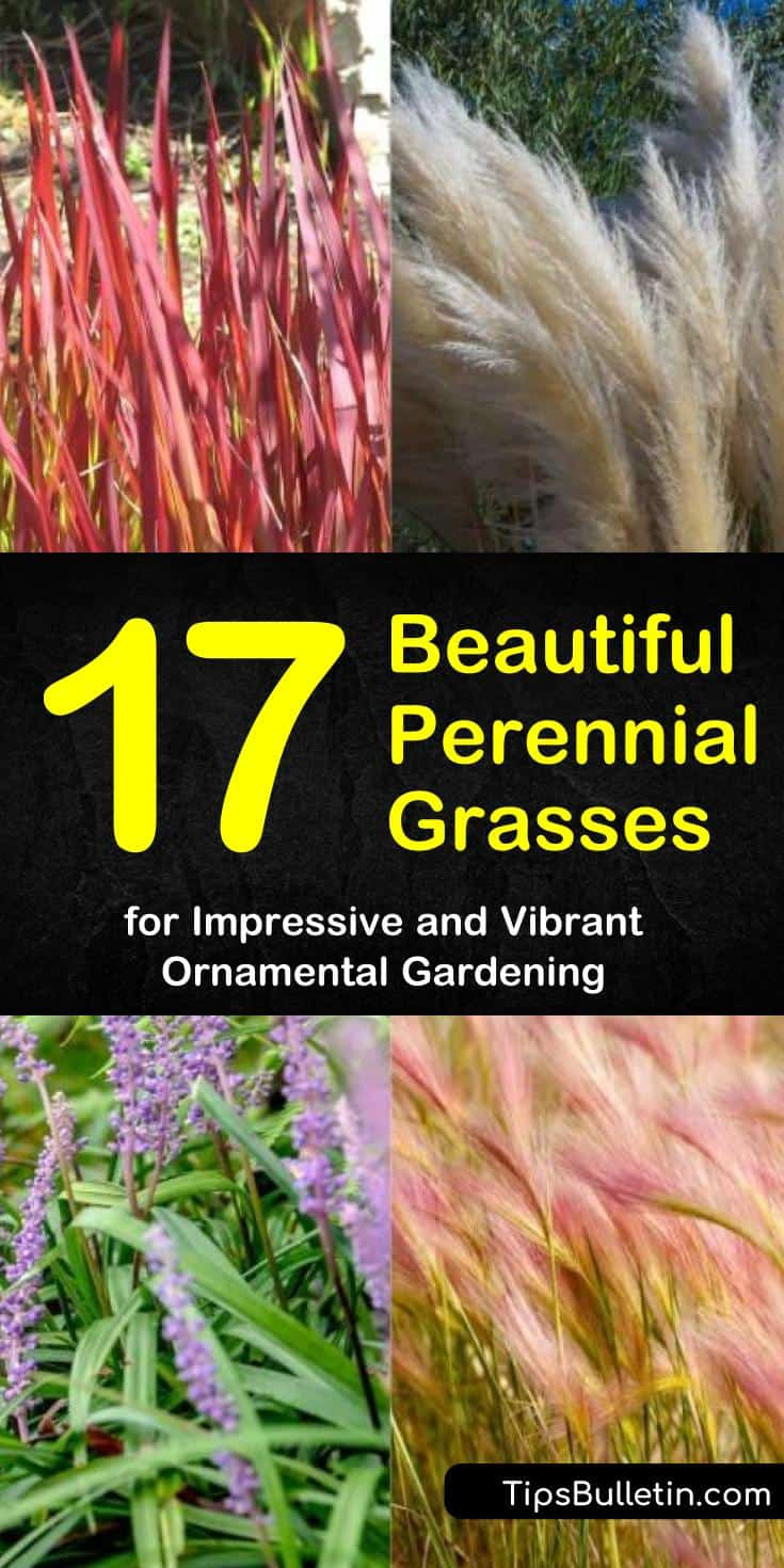 Discover perennial grasses that add flair to any garden. Learn how these ornamentals can fill in planting gaps and enhance curb appeal. Find grasses like Blue Fescue, Pampas, and Blood Grass that add splashes of color to your landscaping. #perennial #grasses #ornamental #gardening
