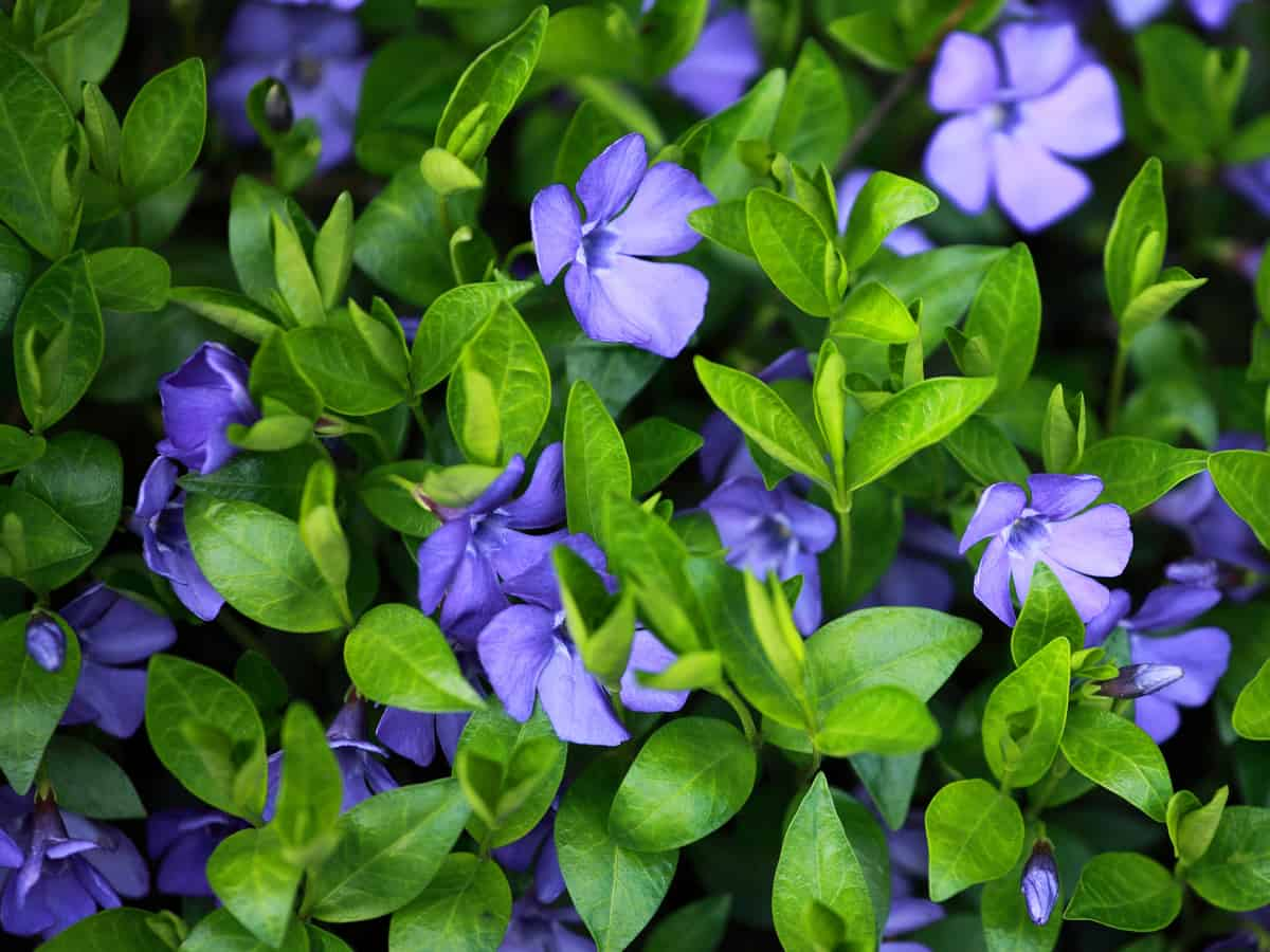 periwinkle makes a great ground cover