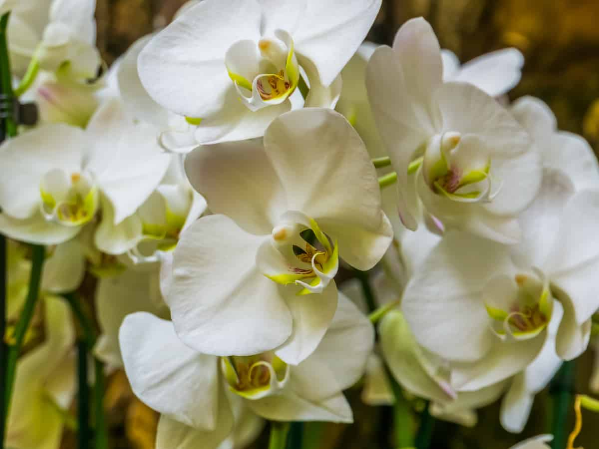 the phalaenopsis orchid is an indoor flowering plant that is surprisingly easy to grow