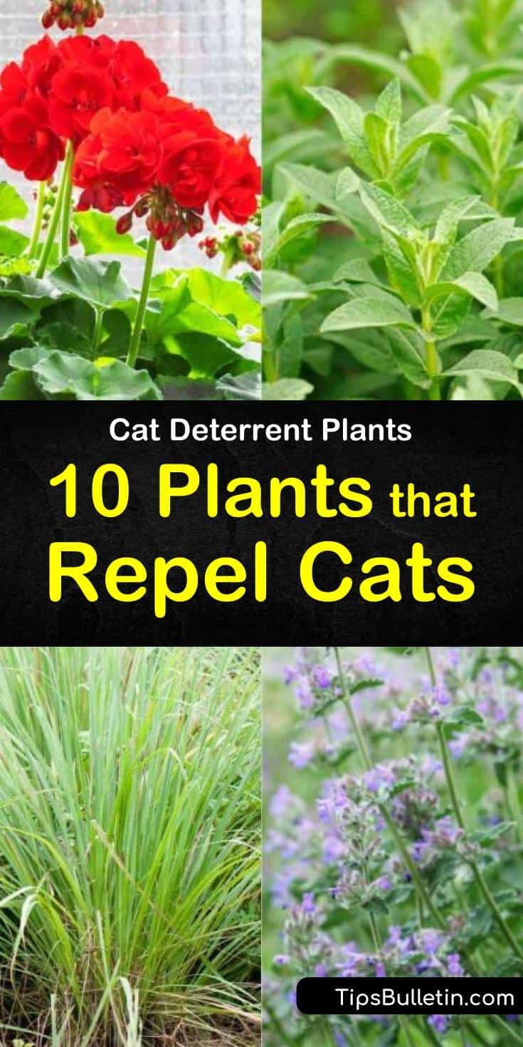 Sick of the neighborhood cats treating the yards like they own them? Using one of our cat deterrent plants or ideas you can easily keep that nuisance kitty from using your gardens as their own personal litter box. #catrepellent #plants