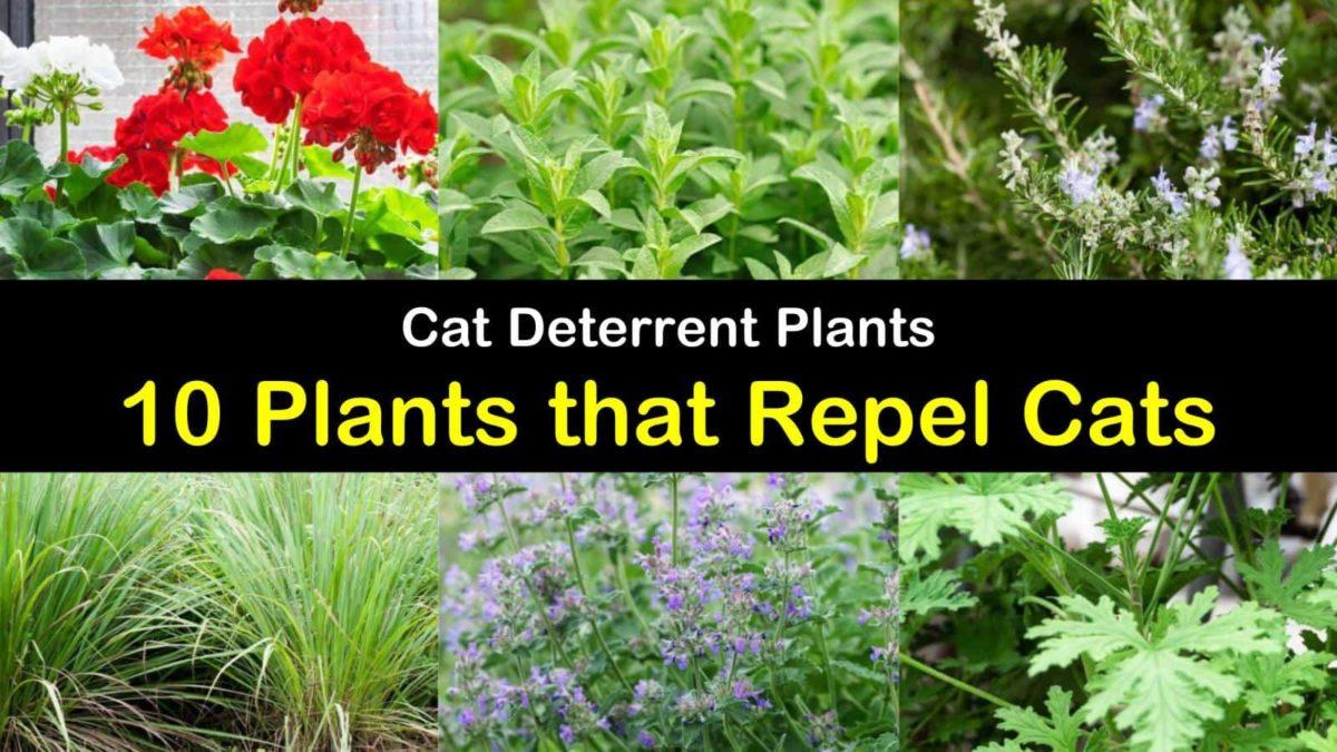 Cat Deterrent Plants 10 Plants That Repel Cats