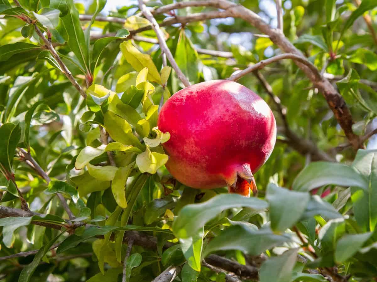 pomegranate trees are a beautiful ornamental