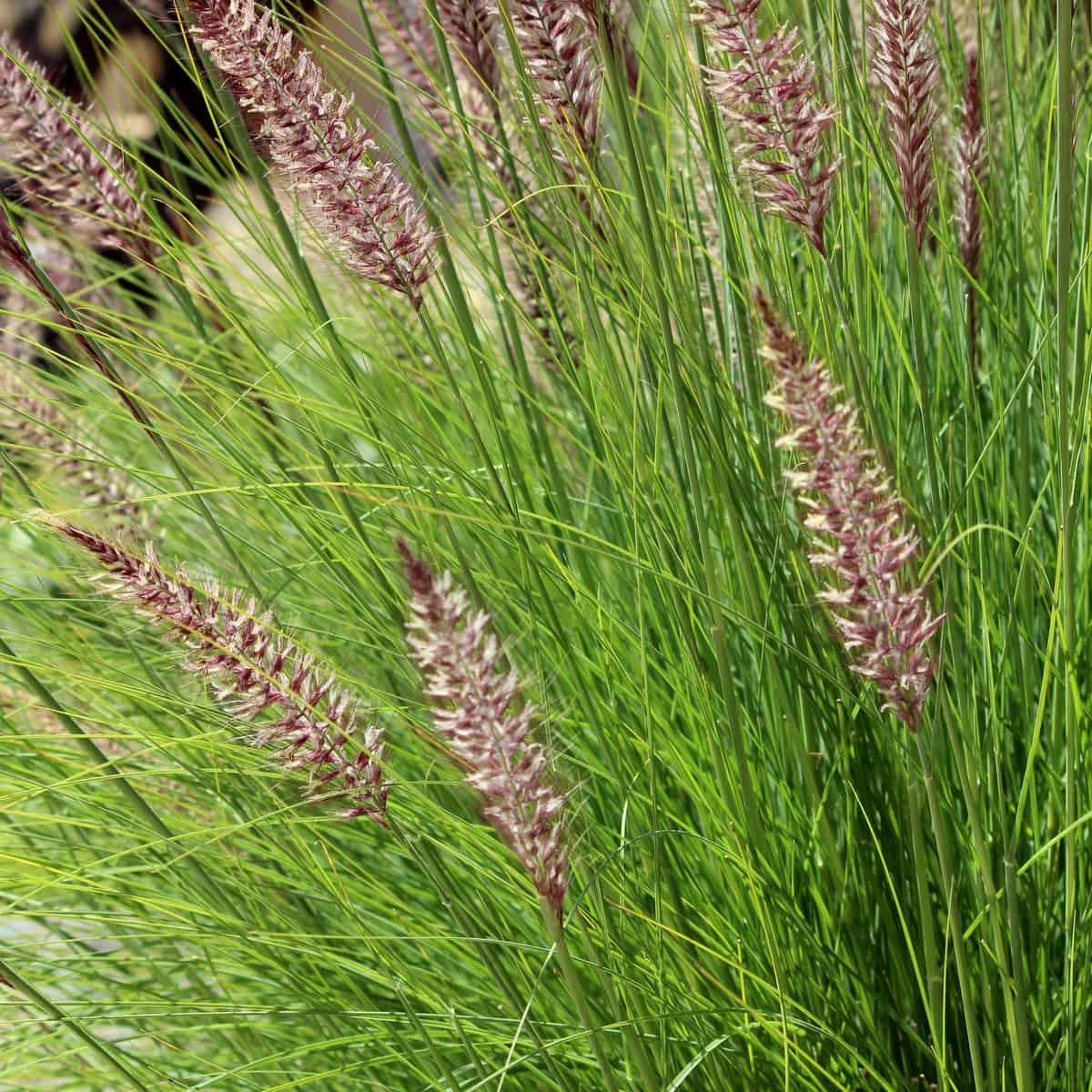 you must divide purple fountain grass