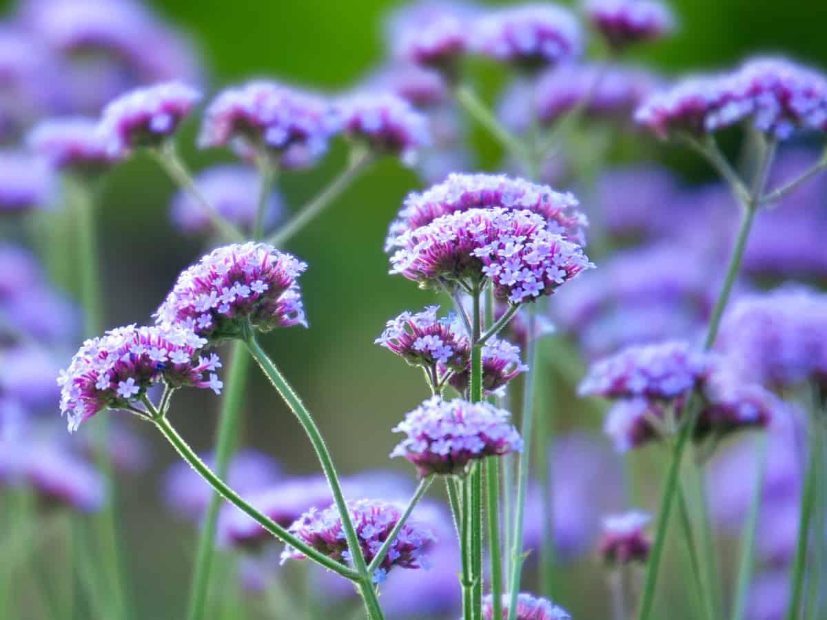 purpletop vervain thrives in full sun