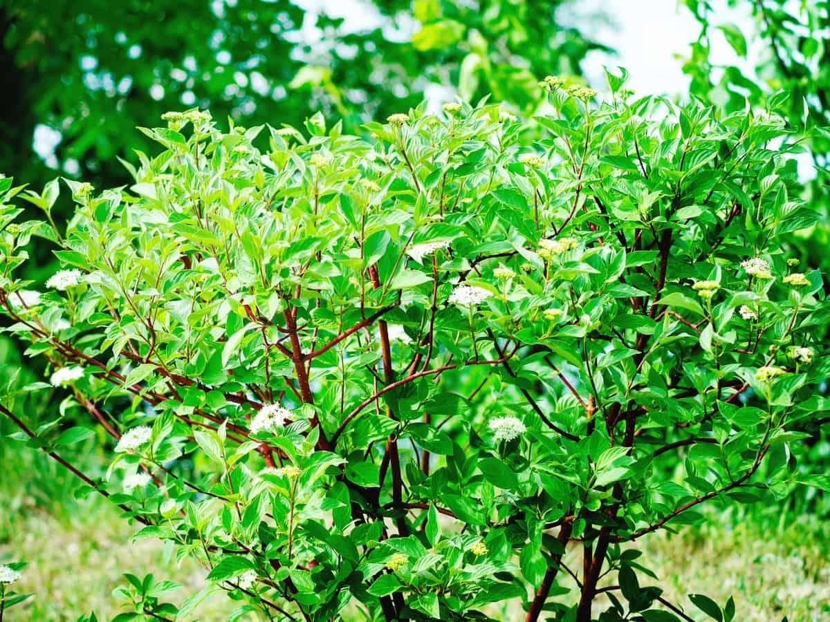 red-twig dogwood is pretty in all seasons