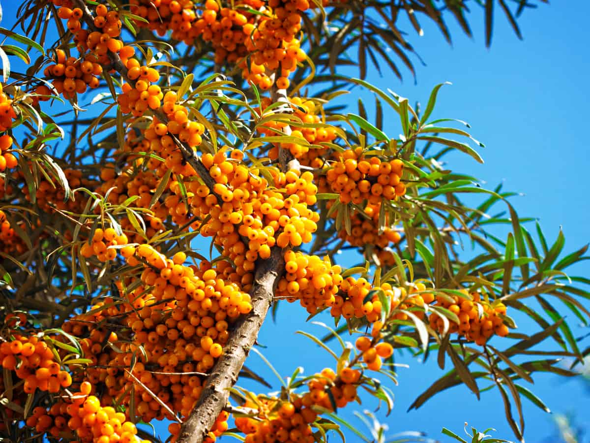 the sea buckthorn is a thorny bush with edible fruit