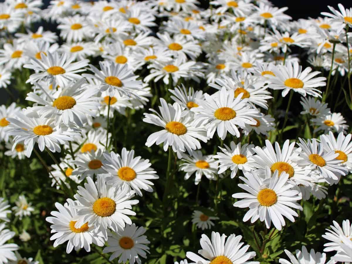 the shasta daisy is a sun loving flower