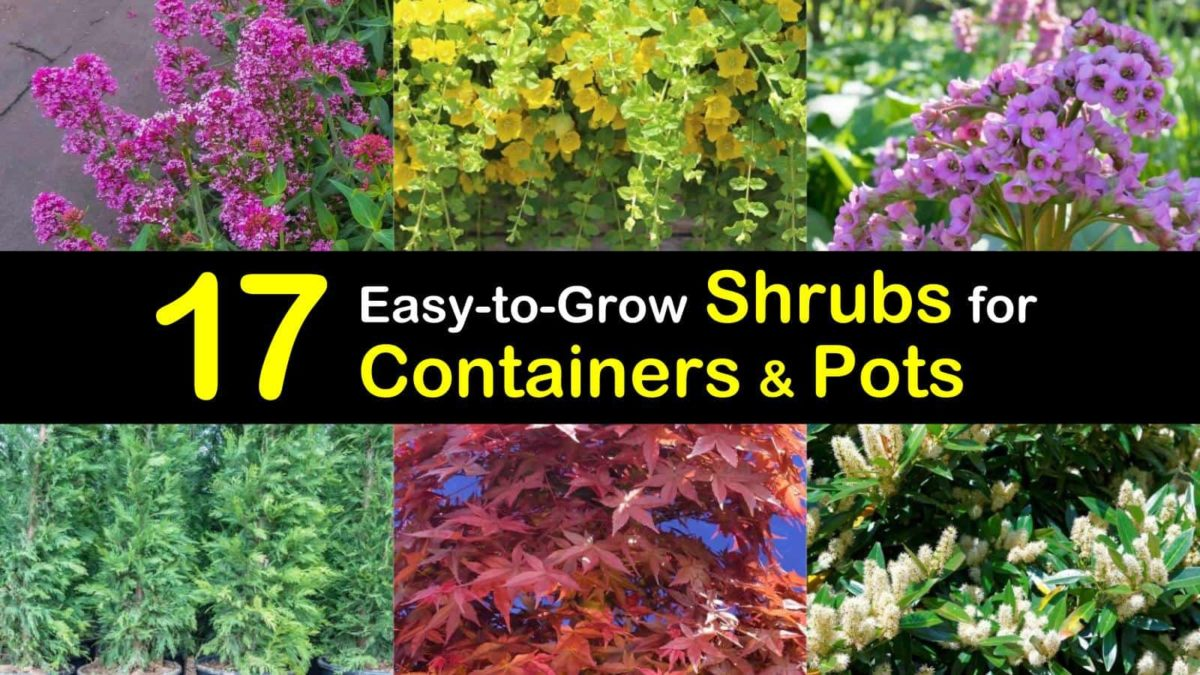 17 Easy To Grow Shrubs For Containers And Pots