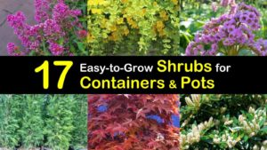 shrubs for containers titleimg1