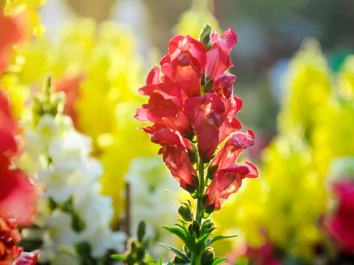 snapdragons are a short-lived perennial