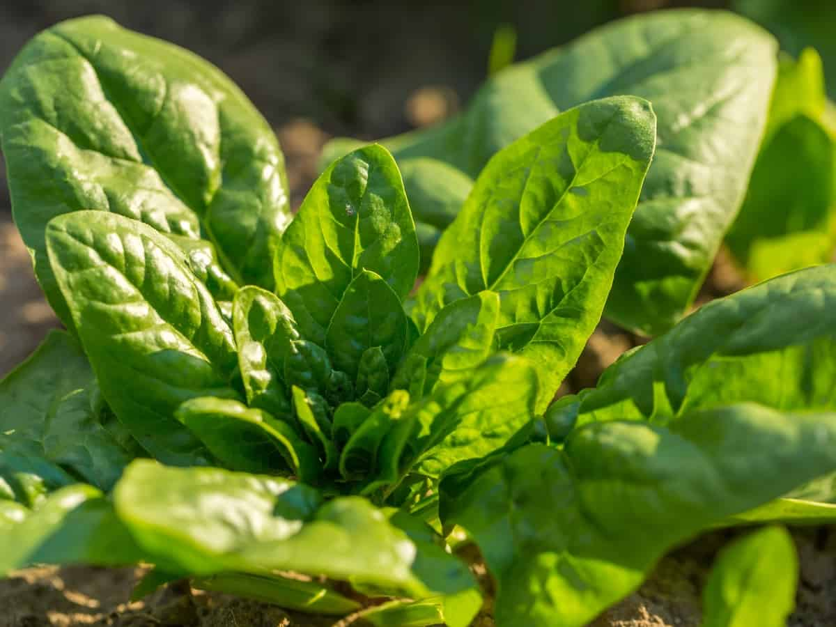 growing spinach requires little maintenance