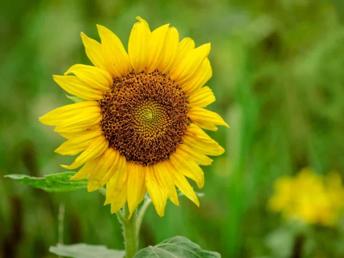 sunflowers grow from 3-16 feet tall