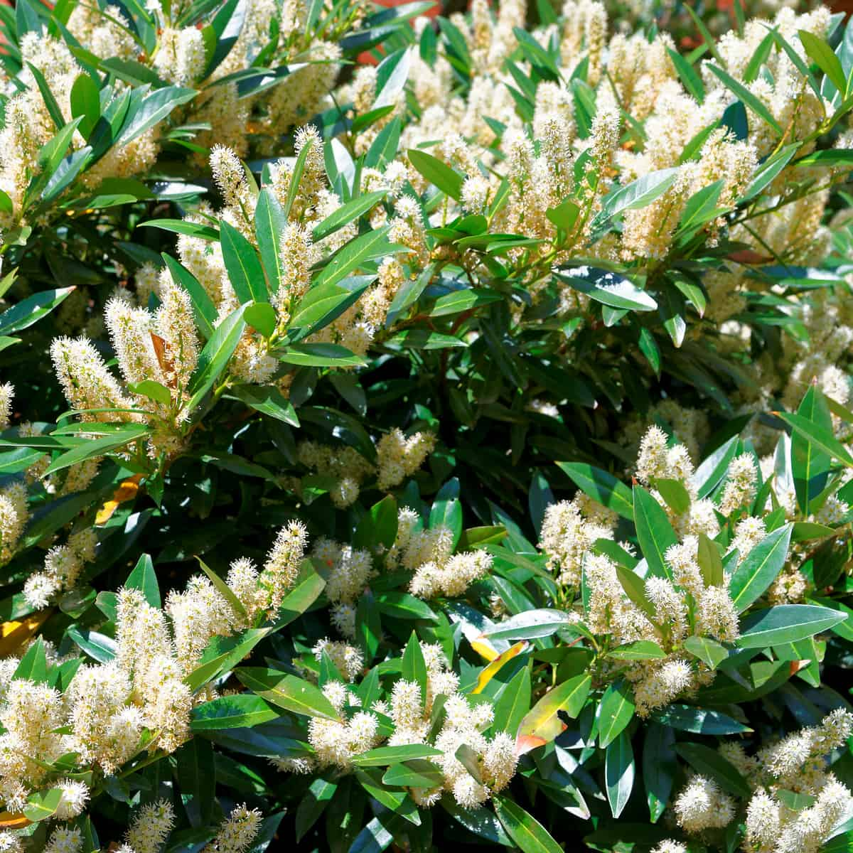sweetspire is a shrub that is easy to grow