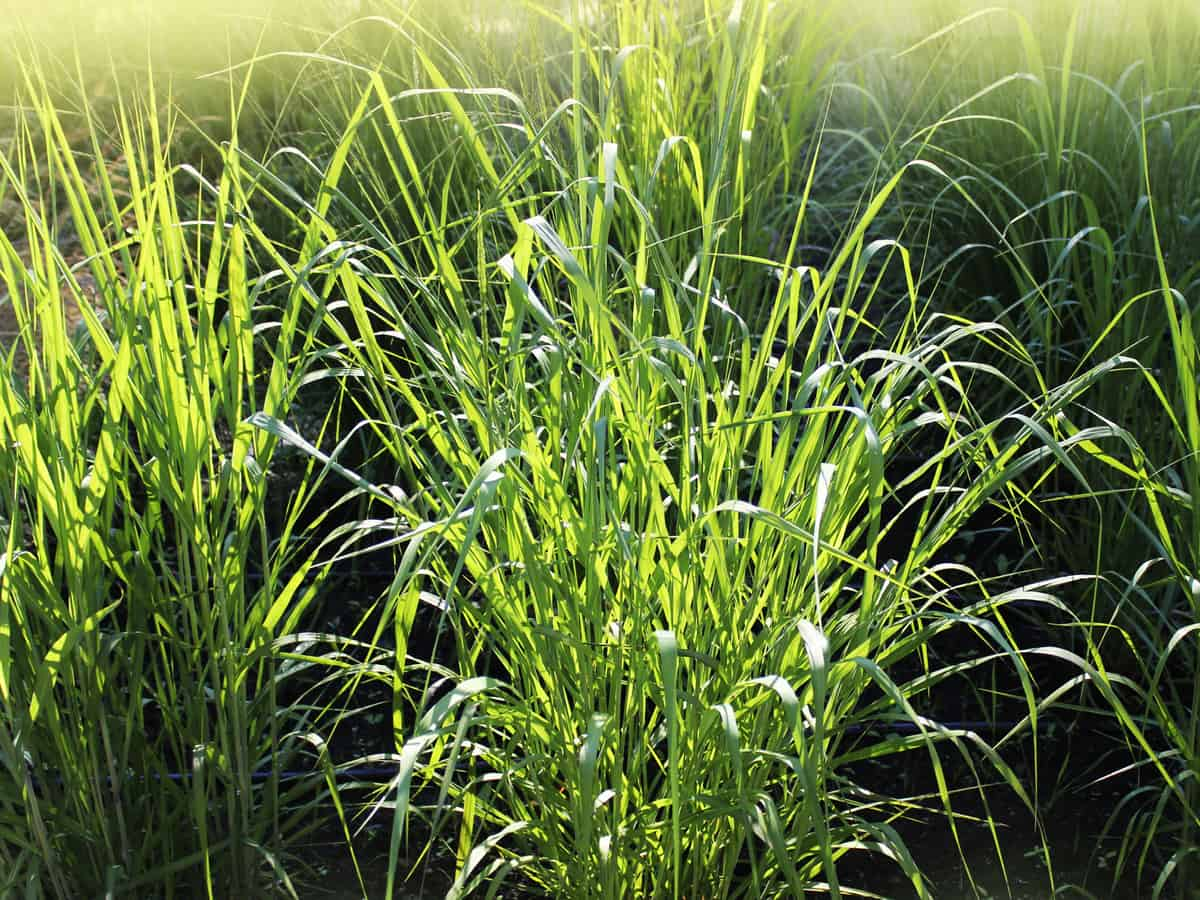 switchgrass is an ornamental perennial that adds beauty to the garden