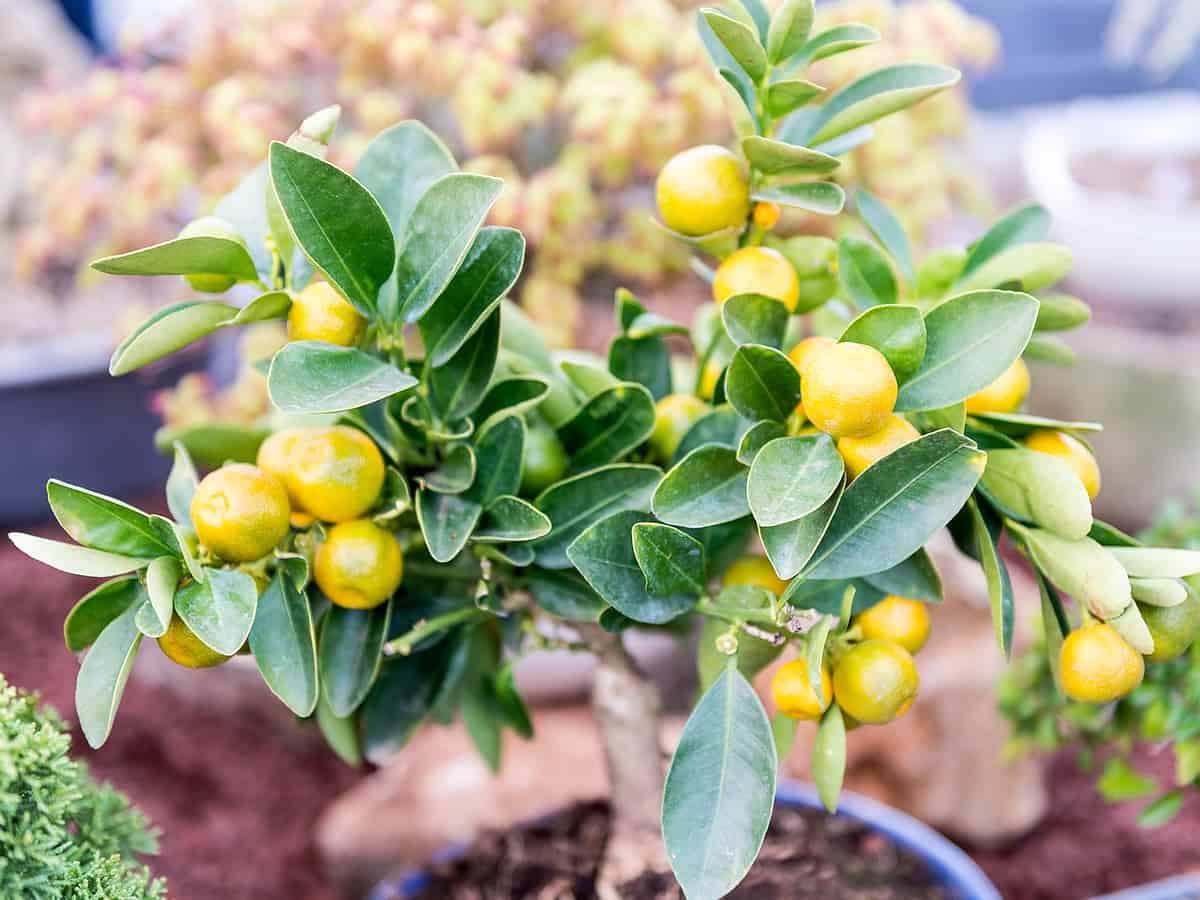 tangerine trees need full sun to thrive