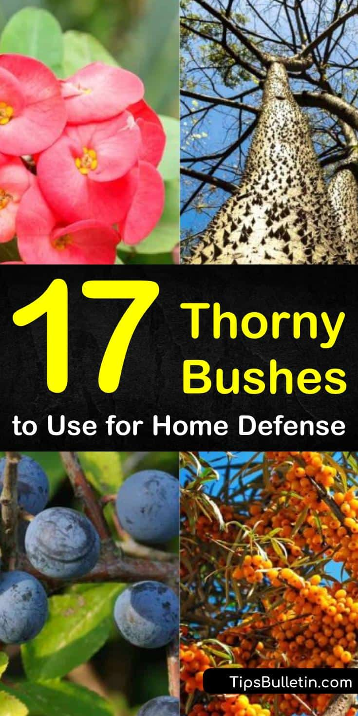 Try these different thorny bushes to defend your home. Find new ways to use popular plants like roses and blackberries to keep animals out of your gardens. Learn how to use these plants as living fences and to prevent break-ins. #thorny #bushes #shrubs