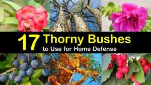 thorny bushes titleimg1