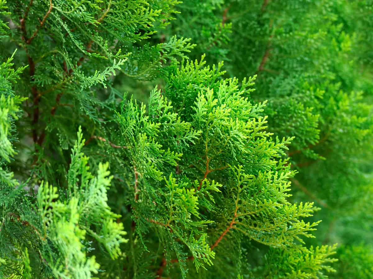 Thuja green giant is a traditional evergreen shrub