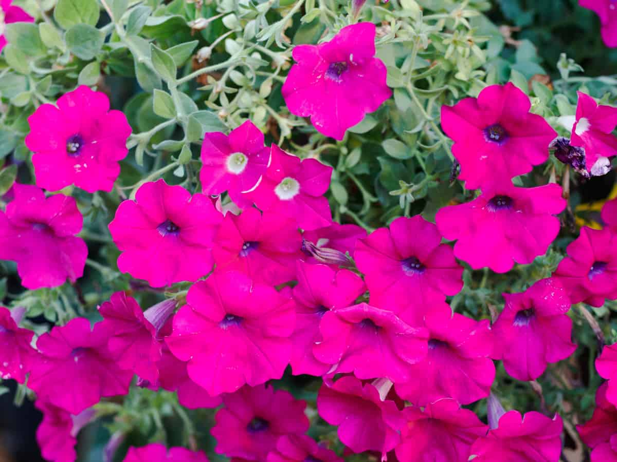 wave petunias need a lot of sunlight to thrive