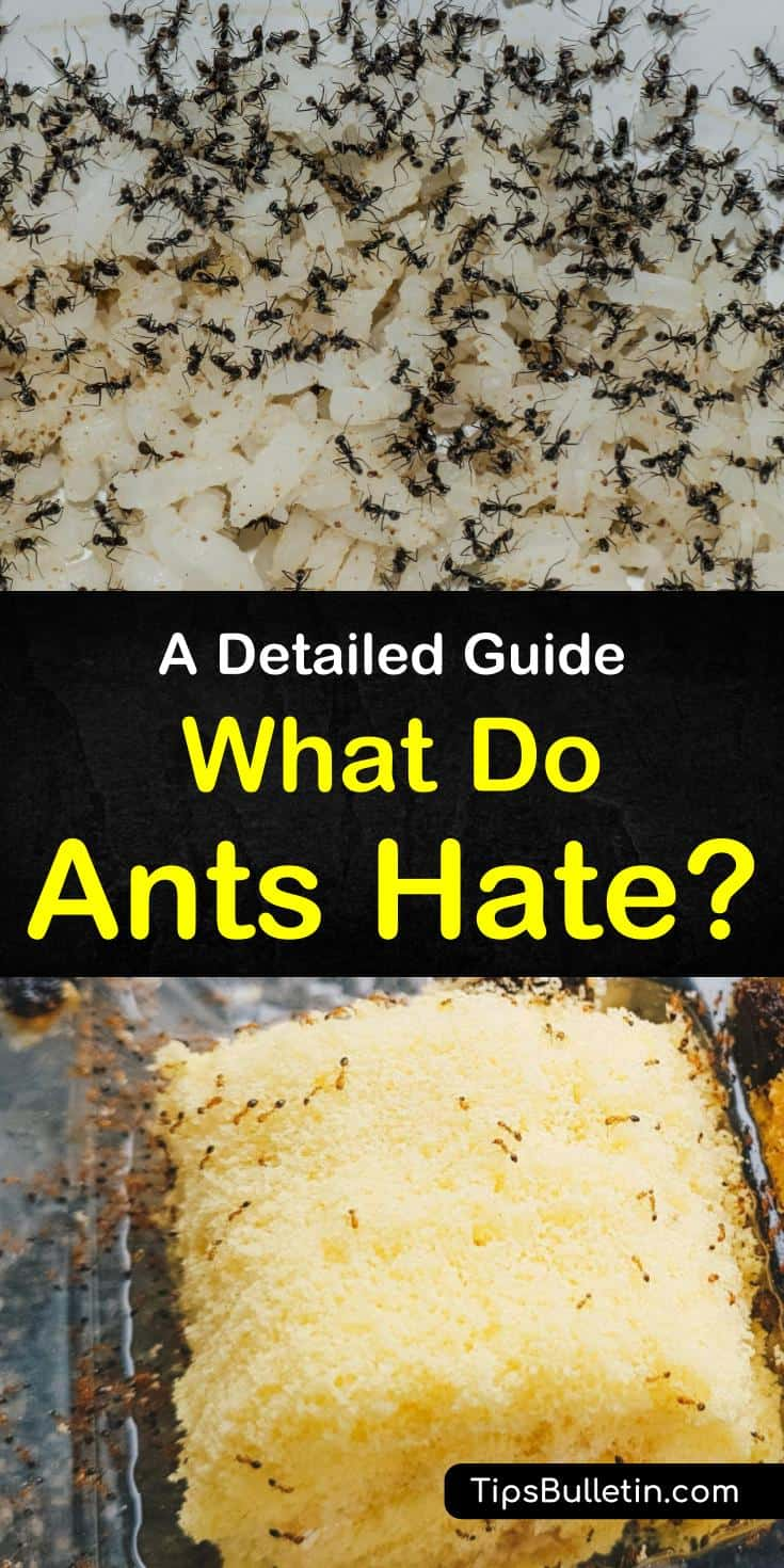 """Learn how to answer """"what do ants hate?"""" with homemade pest control. Discover how smells ants hate will keep them out of your food. Try natural repellents like peppermint oils and lavender to keep ants away and make your home smell great. #ants #repellents #essentialoils"""