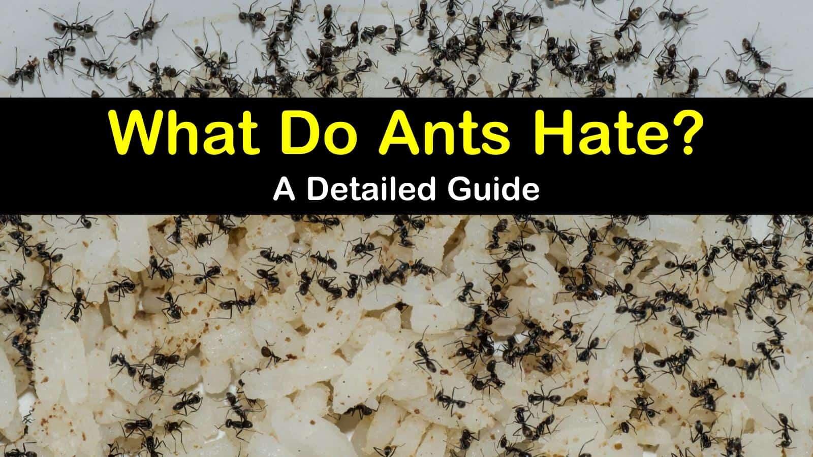 what do ants hate titleimg1