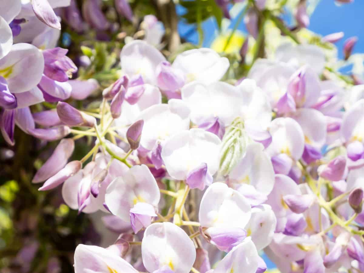 wisteria needs frequent trimming as it is a prolific grower