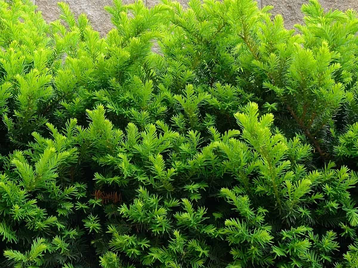 Taunton yew is ideal for small spaces