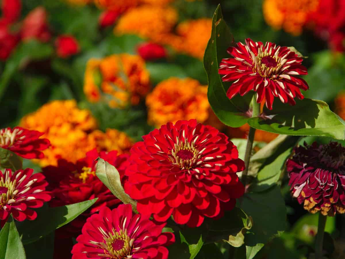 the zinnia is native to Mexico