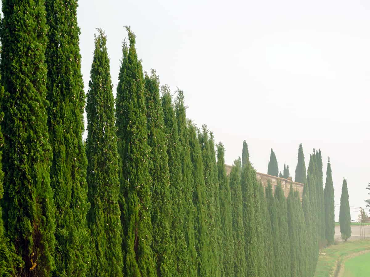 the Italian cypress is a long, slender privacy bush