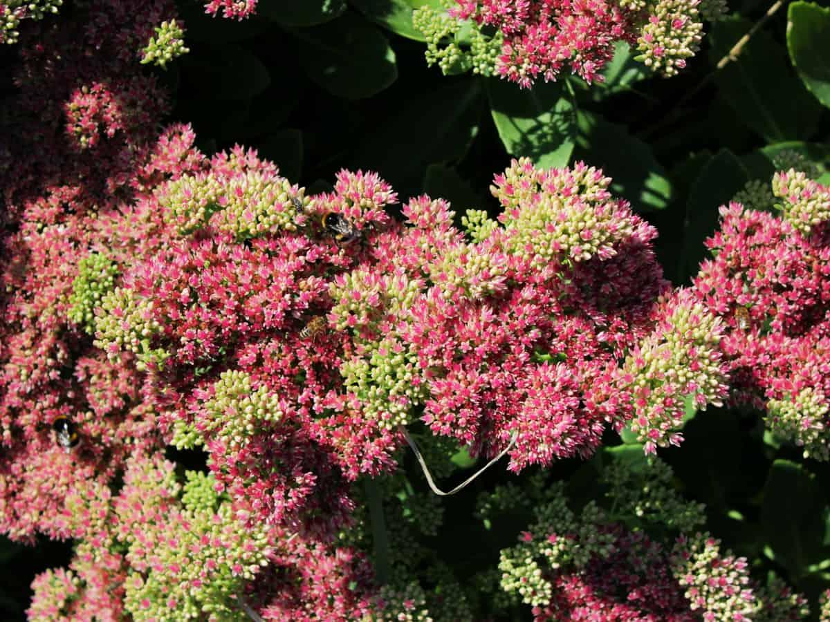 autumn joy is a hybrid plant
