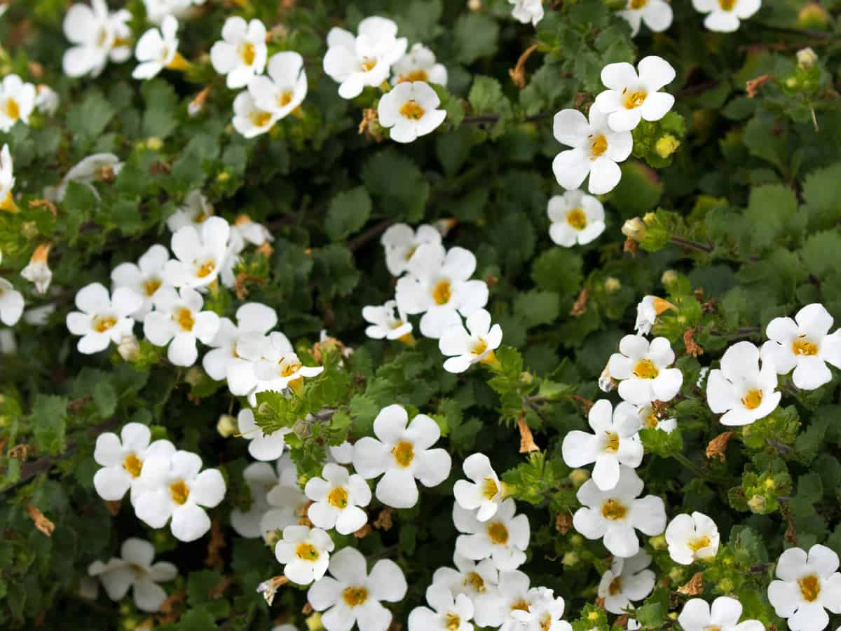 bacopa is a beautiful trailing flower