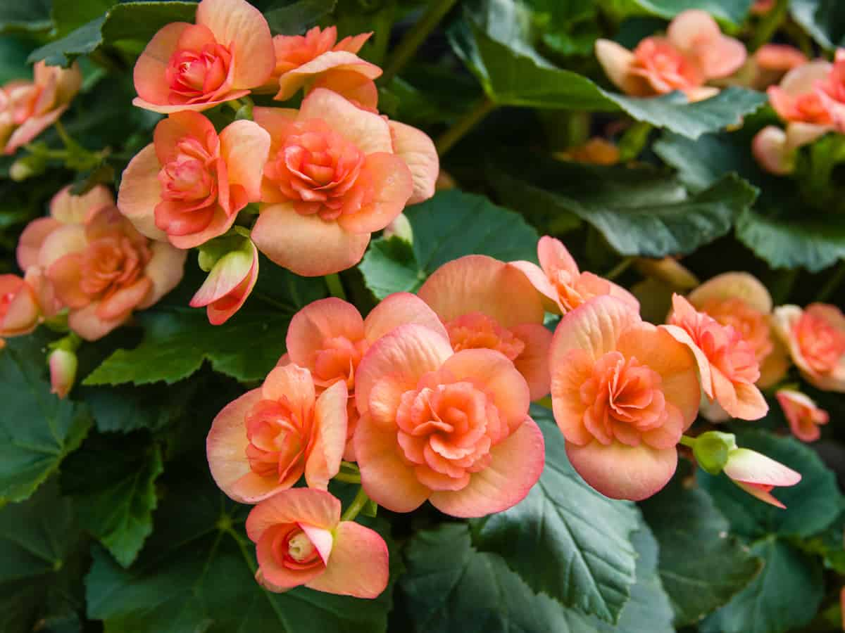 the begonia is a popular indoor plant