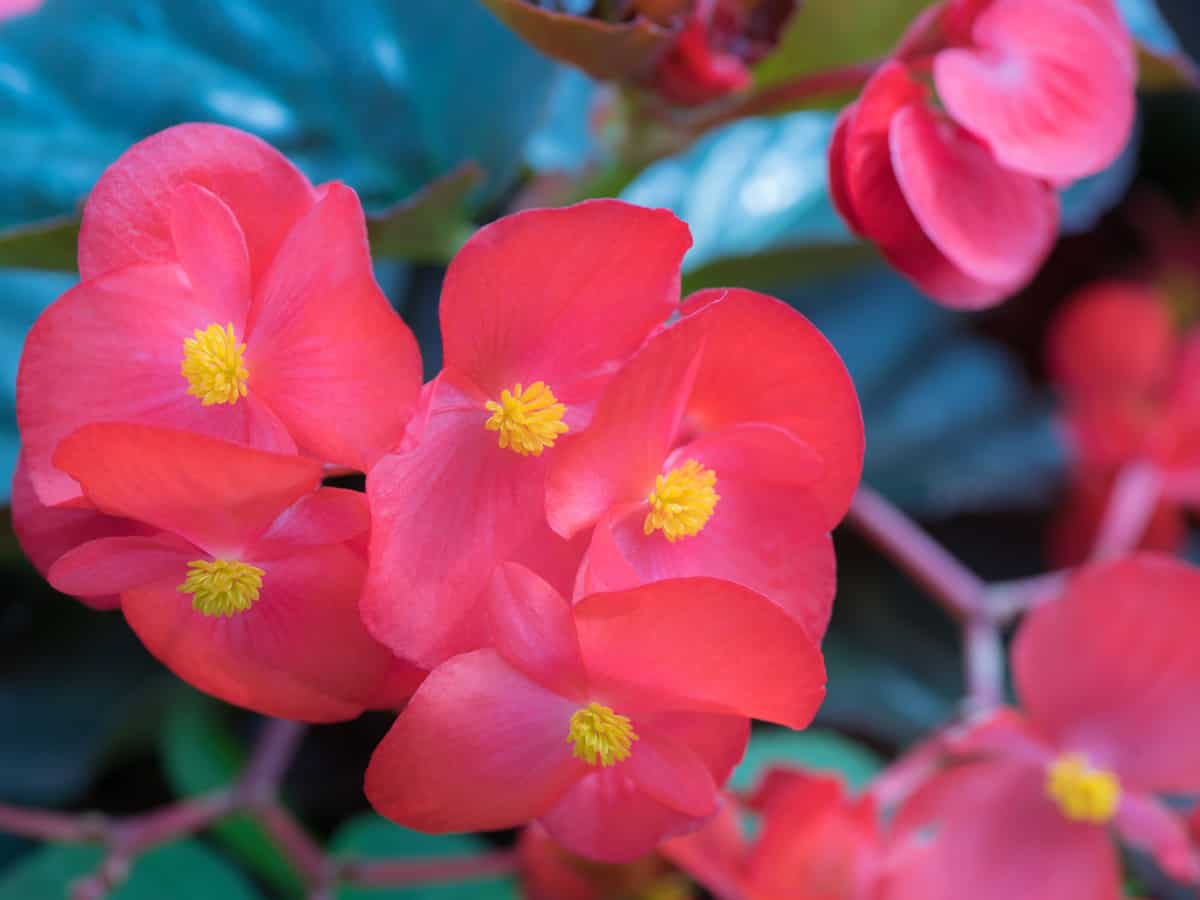begonias are easy-care plants for indoor and outdoor gardens
