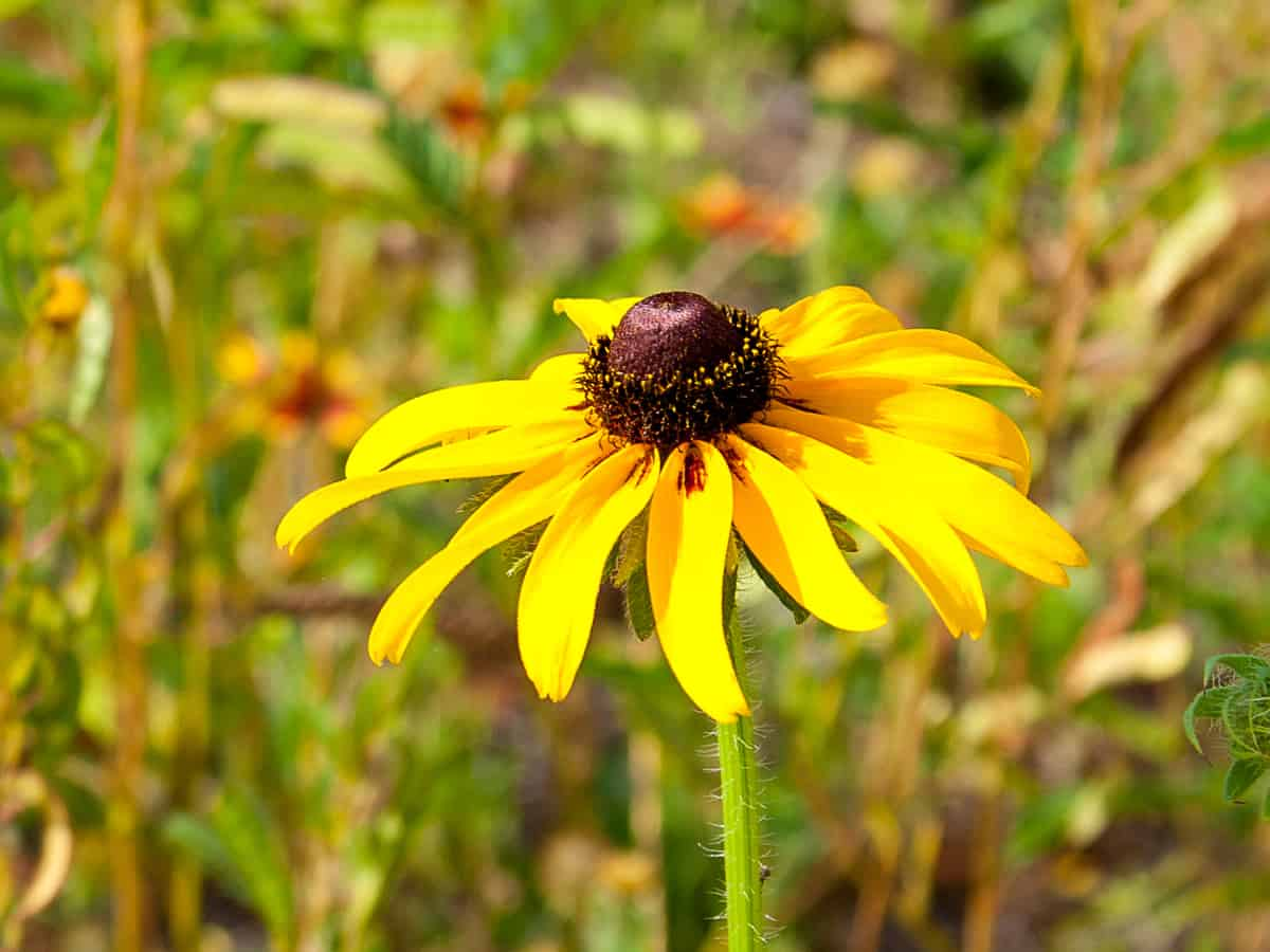 black eyed Susan is an easy care perennial