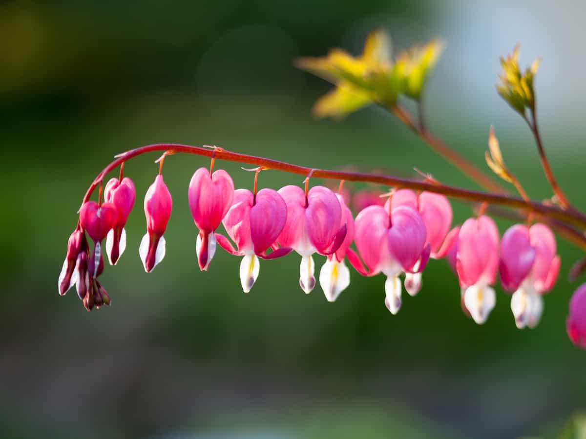 bleeding heart has a long bloom time