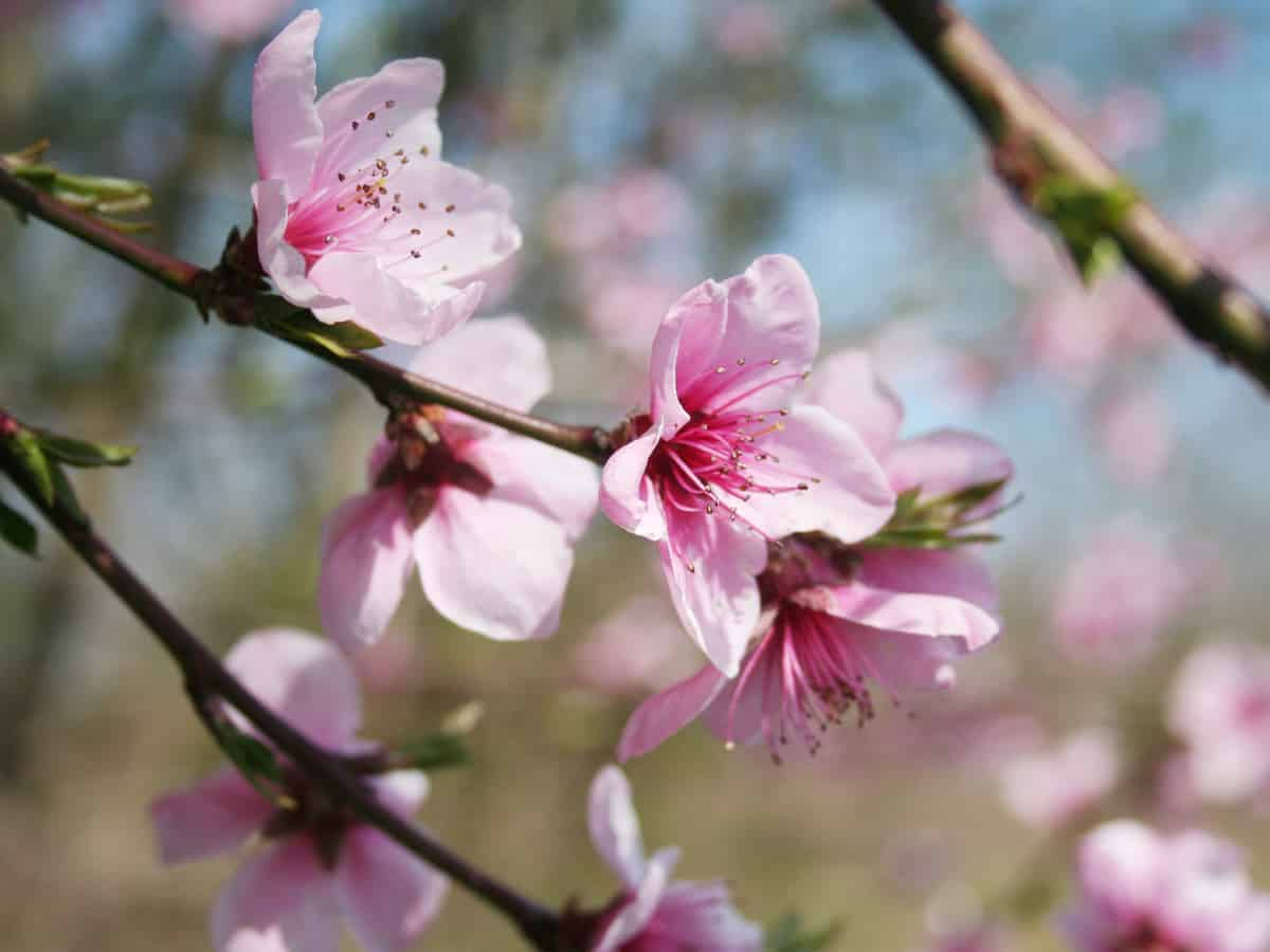 Bonanza dwarf peach trees only reach 4-6 feet tall