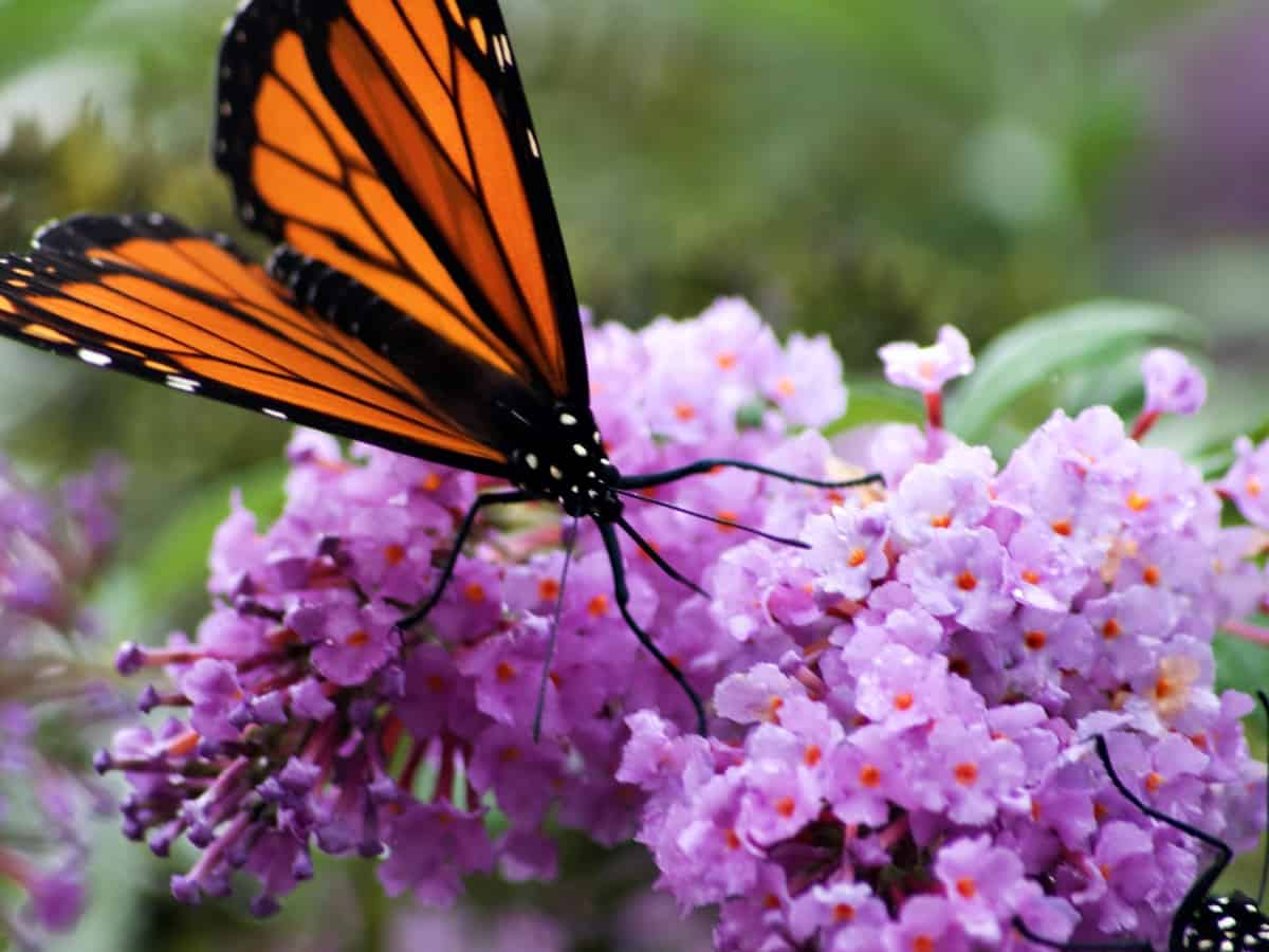 butterfly bush attracts many beneficial pollinators
