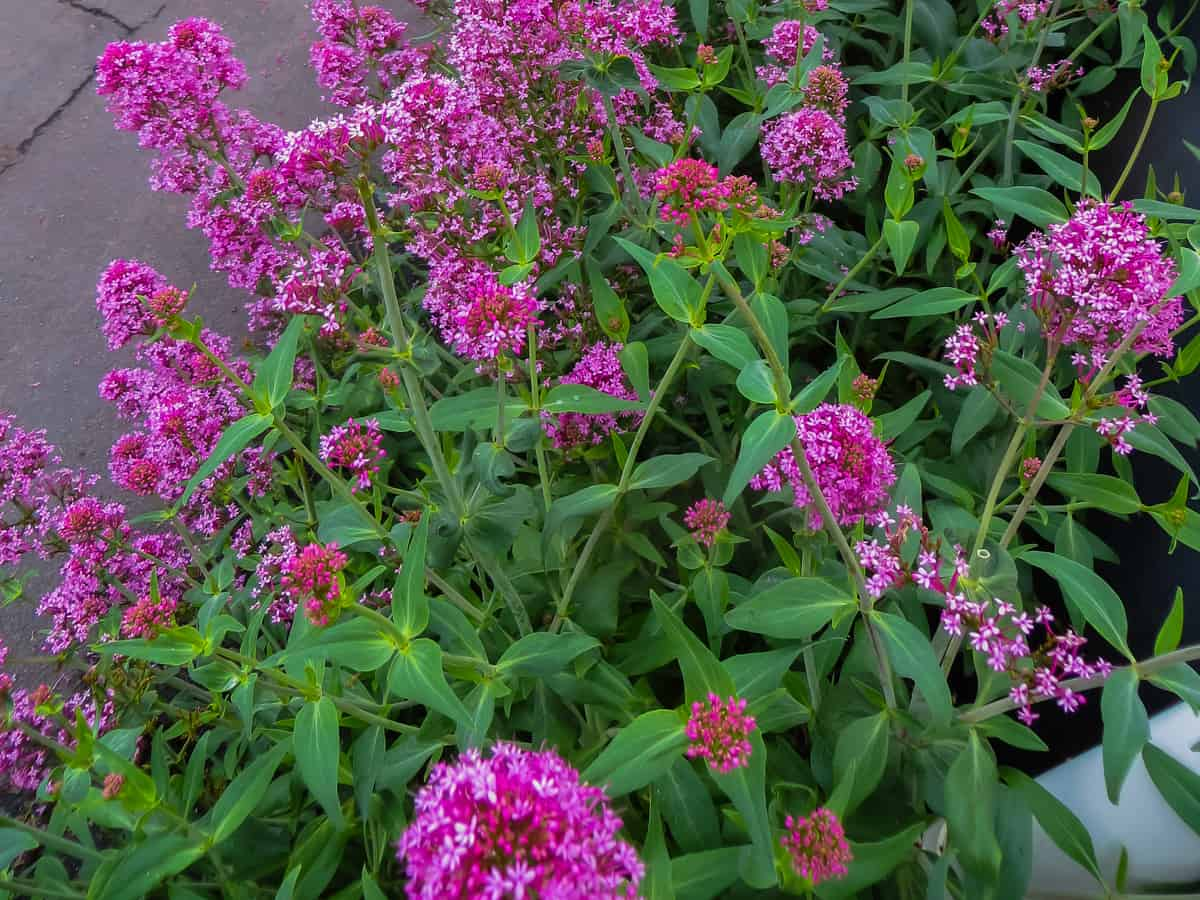butterfly bush is a fast growing privacy shrub